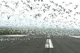 Birds on the runway